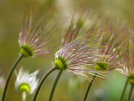 Pasque Flower, Faded, Pasqueflower, Pulsatilla, Spring