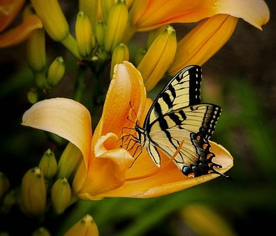 Butterfly, Swallowtail, Papilio, Animal, Wildlife, Wing