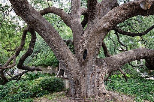 Usa, America, Tree, Garden, San Antonio, Fort, Alamo