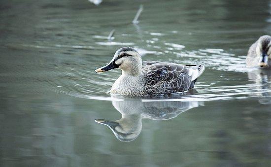 Spot-billed Duck, Bird, Lake, Water Surface, Reflection