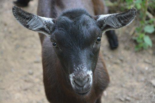 Goat, Goat Alpine, Animal, Cute, Black White