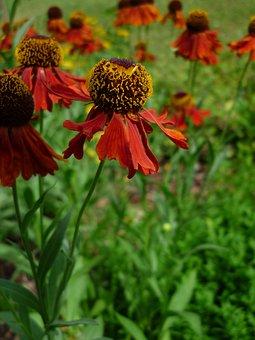 Mädchenauge, Nature, Flower Garden, Shrub, Red, Blossom