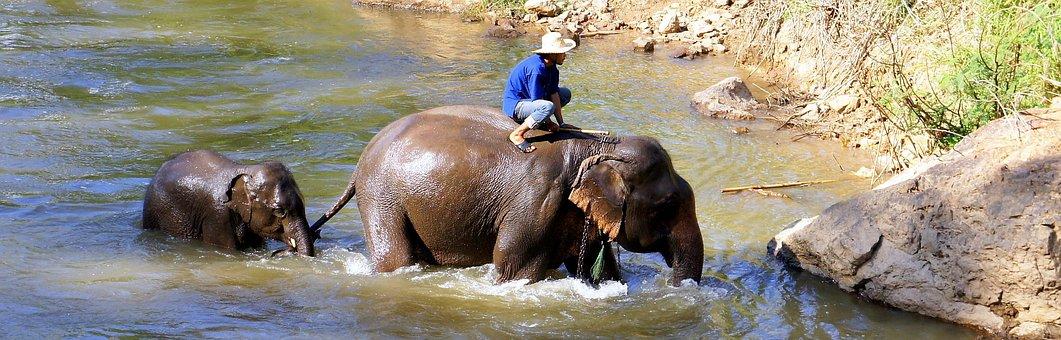 Elephant, Safari, Trekking, Chiang Mai, Thailand