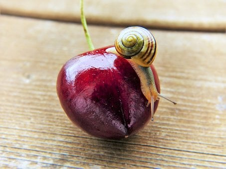 Cherry, Snail, Shell, Fruit, Close, Bio, Nature, Food