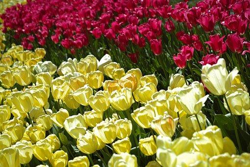 Tulips, Flower, Detail, Flowers, Macro, Plant, Nature