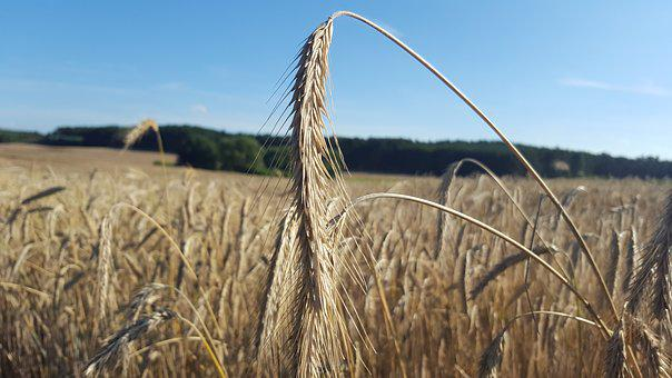 Summer, Field, Wheat, Cereals, Warm, Plant, Yellow