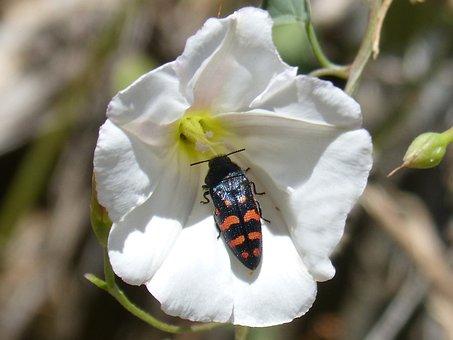 Beetle, Orange And Black, Flower, Libar, Coleoptera