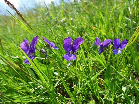 Violet, Flower, Pridoda, Violets, Mountain, Vitosha