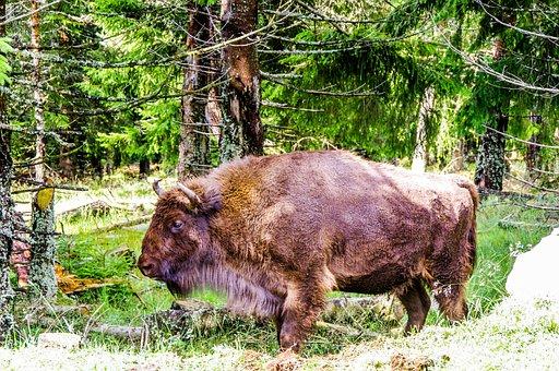 Bison, Taurau, Force, Nature, Wild, Forest, Haute Loire
