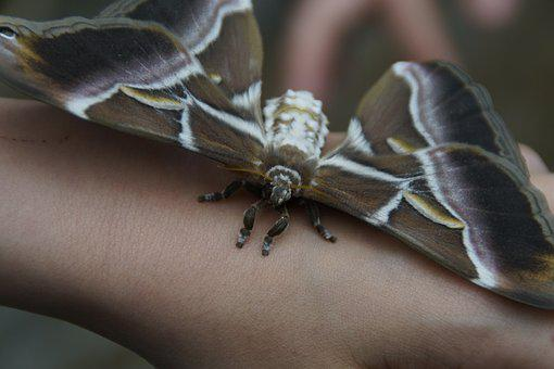 Attacus Atlas, Butterfly, Giant Butterfly, Atlas Moth
