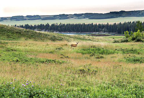 Glenbow Ranch Provincial Park, Deer, Park, Nature