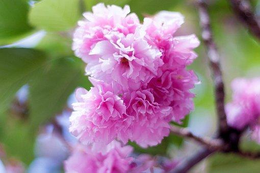 Arboretum, Flowers, Plant, Natural, Japan Flower, Japan