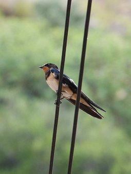 Swallow, Oreneta, Hirundo Ru, Hirundo Rustica, Cable