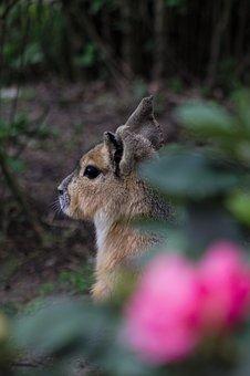 Mara, Patagonian Hare, Animal, Rodent, Fauna