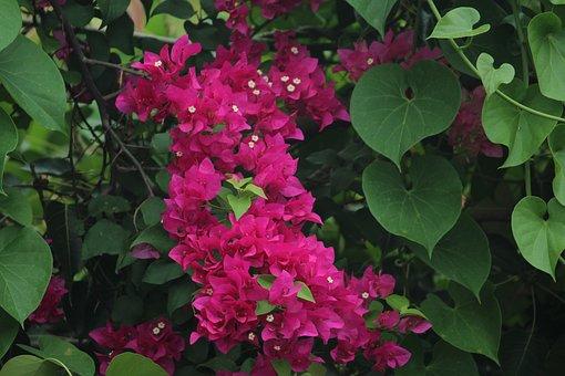 Bougainvillea, Bloom, Pink, Flowers