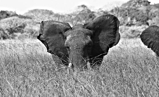 Mozambique, Pontamalongane, Elephantsanqtuary, Wild