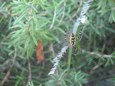Spider, Rosemary, Spider Web