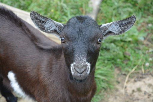 Kid, Small Goat, Goat Alpine, Goat Alpine Grazing