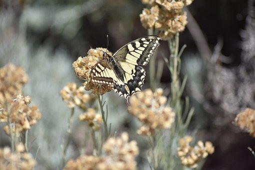 Swallowtail Papilio Swallowtail, Www, Nature-surprising