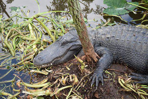 Alligator, Closeup, Sleeping, Gator, Cute, Hangover
