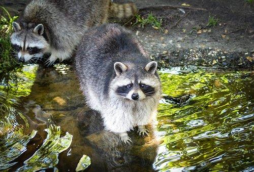 Raccoon, Cute, Bear, Funny, Mammal, Face, Adorable