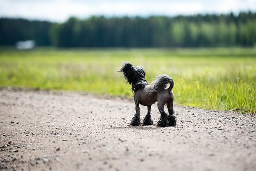Dog, Summer, Chinese Crested, Silhouette