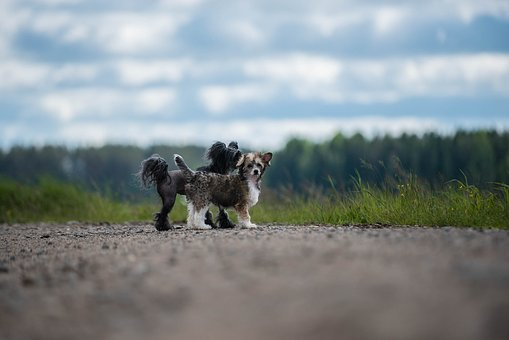Dogs, Summer, Chinese Crested The, Doglife