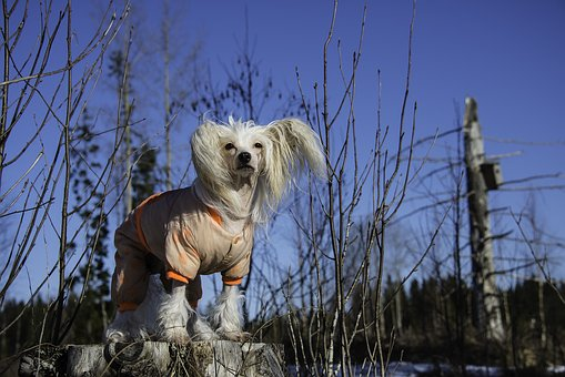Dog, Chinese Crested, Winter, Outside, Clothes