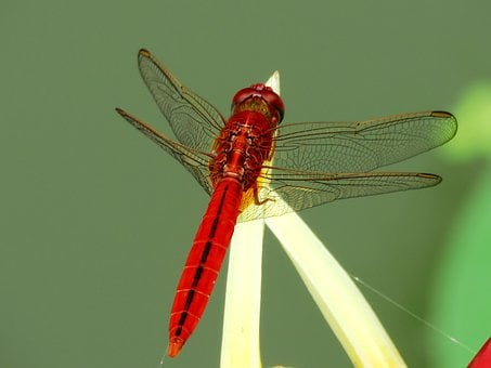 Dragon Fly, Red, Single, Colorful, Face, Bug