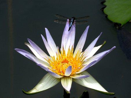Dragon Fly, Lily, Flower, Bloom, Fresh, Close, Macro