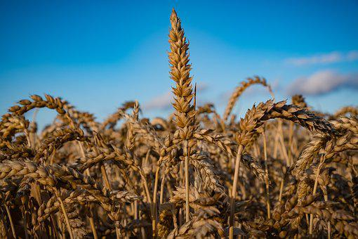 Wheat, Grain, Cereals, Field, Spike, Food, Agriculture