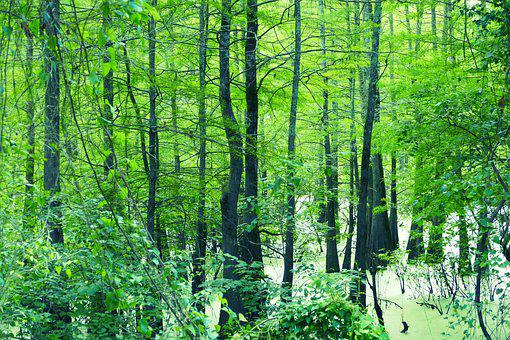 Swamp, Green, Forest, Nature, Water, Marsh, Outdoor