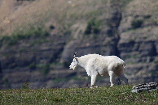 Mountain Goat, Goat, Glacier Park, Logan Pass, Horn