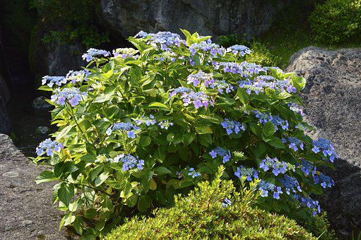 Flowers, Natural, Plant, In The Early Summer, Hakone