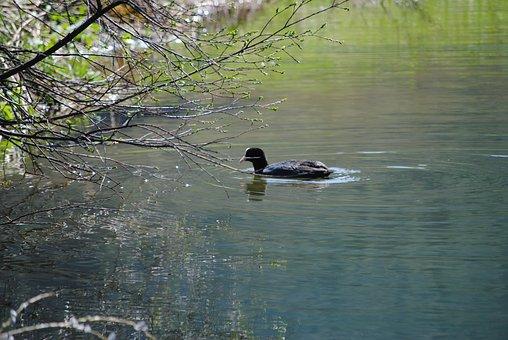 Lonely, Alone, Swim, Mallard, Bird, Duck, Nature