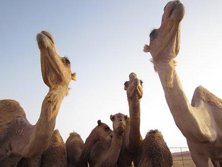 Camels, Oman, Desert, Dromedary, Travel, Middle, East