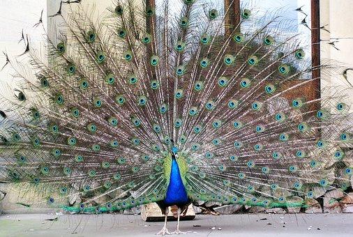Peacock, Bird, Tail Feathers