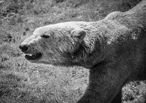 Icebear, Animal, Fur, Bear, Polar, White, Polarbear