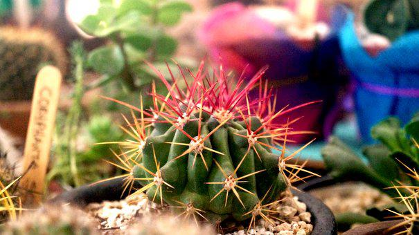 Cactus, Mexico, Thorns, Plants, Garden, Thorny, Green