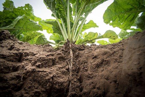 Agriculture, Sugar Beet, Turnip, Beets