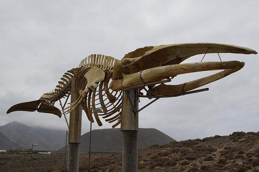 Whale Skeleton, Skeleton, Wal, Sculpture, Tenerife