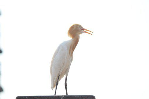 Crane, Bird, Long-necked, Nature, Feather, One, White