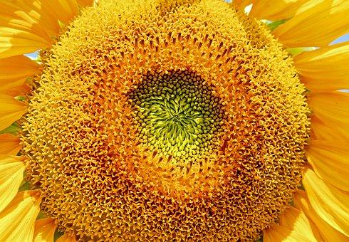 Sunflower, Flower, Helianthus Annuus, Bloom, Yellow