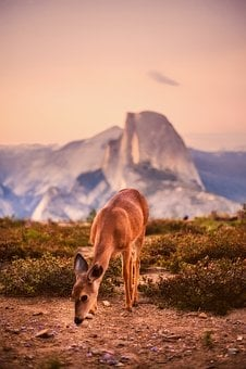 Deer, Animal, Wildlife, Yosemite National Park