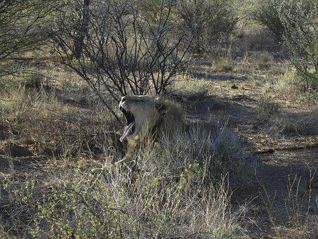 Lion, Yawn, Predator, Cat, Africa, Animal, Foot, Tired