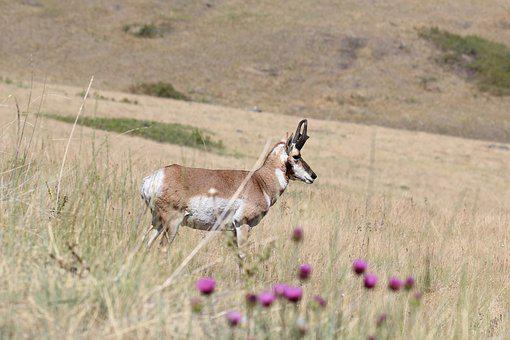 Pronghorn Antelope, Antelope, Pronghorn, Prairie