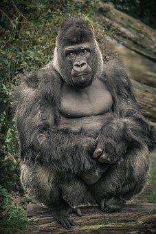 Gorilla, Monkey, Ape, Zoo, Silverback, Animal, Watch