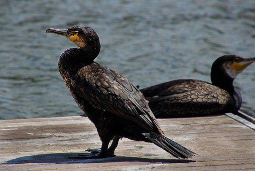 Cormorant, Bird, Nature, Wildlife, Animal, Black, Beak