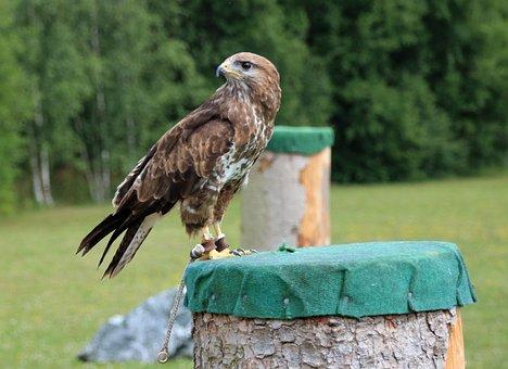 Falcon, Kestrel, Falconry, Birds, Nature, Raptors