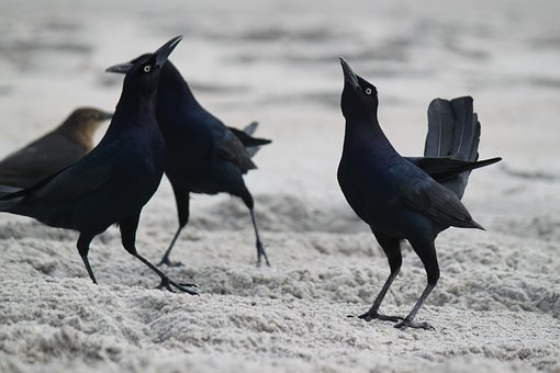 Blackbirds, Beach, Beach Birds, Bird, Nature, Animal